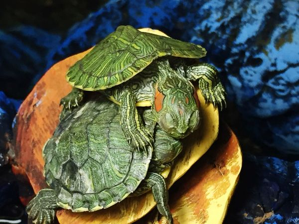 Sweetnessoverload Turtle Pets Petsofeyeem Pet Photography  Animal Themes Animals In The Wild Close-up Animal Wildlife Reptile No People Outdoors Tortoise Water Nature Day Tortoise Shell