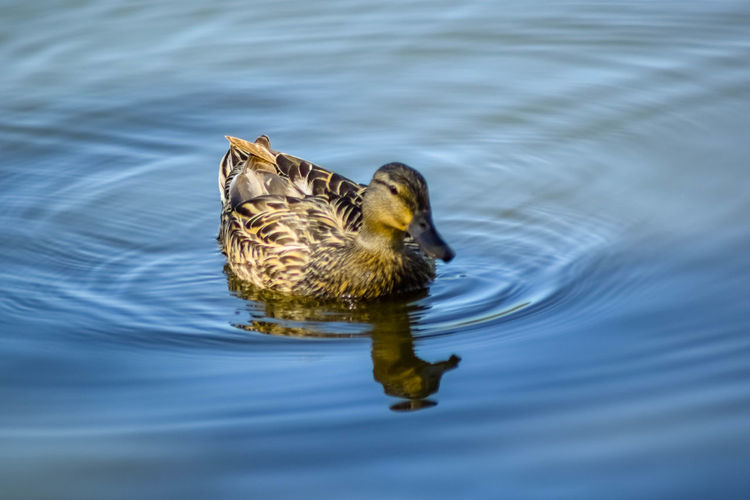 Close-Up Of A Duck In Rippled Water