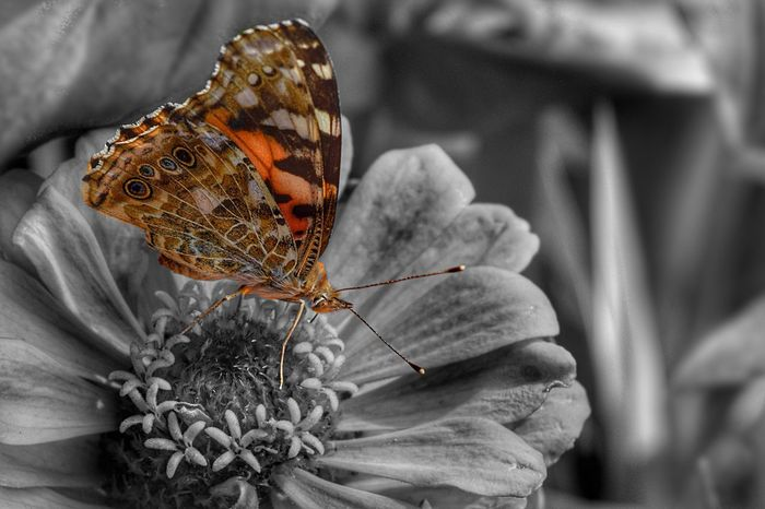 Distelfalter ( Vanessa Cardui , Painted Lady , Cosmopolitan ) Black And White Nature Nature_collection Butterfly Tranquility EyeEm Best Shots EyeEm Gallery Blackandwhite Beauty In Nature Garden Nikon Flowers Flowers,Plants & Garden