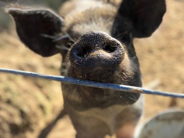 Poaka Pig Animal Themes Animal Mammal One Animal Vertebrate Domestic Animals Focus On Foreground Close-up Livestock