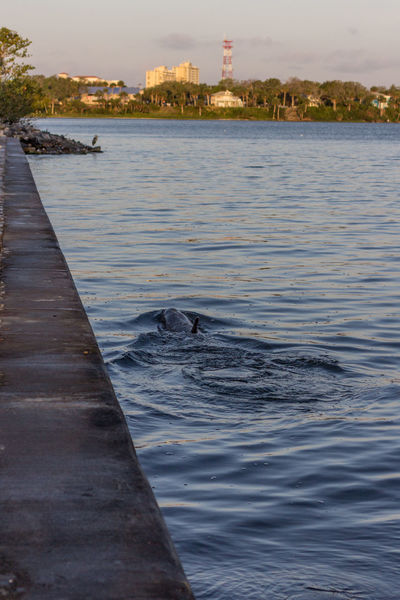 Porpoise fishing along the seawall Bottle Nosed Dolphin Dolphin Dolphin Watching  Geiger Point Indian River Indian River Lagoon Porpoise Sealife Seawall