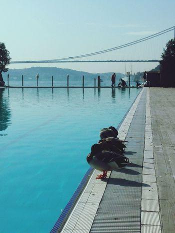Ordek Ducks Istanbul Bogazi Bosphorus