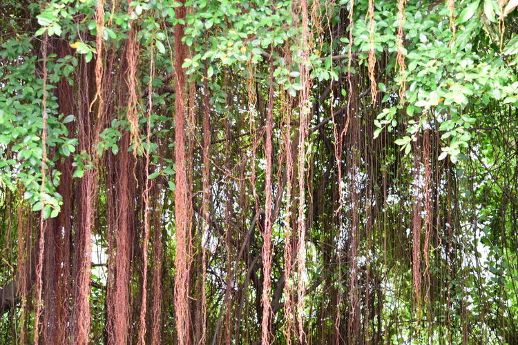 Forest Growth Tree Nature Forest Outdoors Tree Trunk Plant Day Full Frame Green Color Backgrounds Bamboo - Plant No People Beauty In Nature Bamboo Grove Close-up