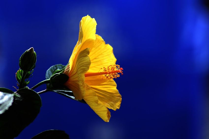 Flower Fragility Petal Freshness Beauty In Nature Flower Head Nature Growth Blooming Plant Yellow Day No People Close-up Outdoors Low Angle View Iris - Plant Leaf Hibiscus Day Lily Hibiscus 🌺 Victoria CRD Victoria Bc Yyj