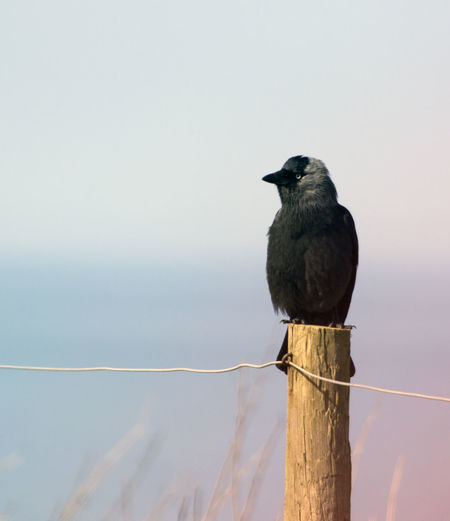 Raven Perching On Wooden Post Against Sky
