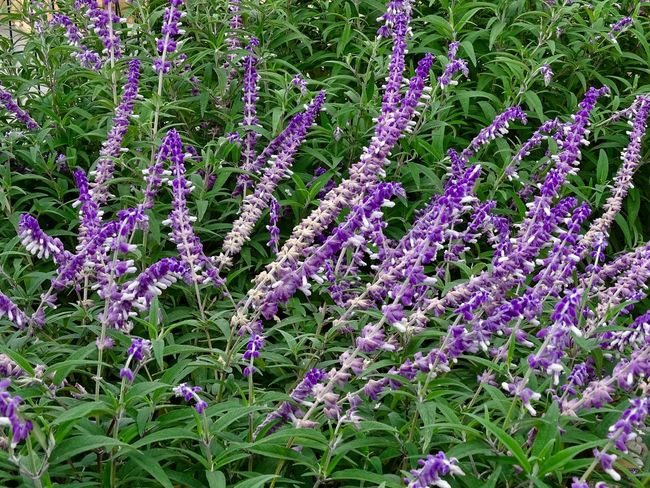 Salvia flowers Salvia Flowers Plant Flower Flowering Plant Growth Beauty In Nature Freshness Nature Land Day Vulnerability  Fragility No People Green Color Field Purple Outdoors Full Frame High Angle View Abundance Close-up