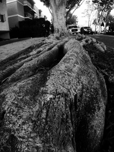 Natures Diversities Tree Root Closeup Ground View Black And White Santa Monica California Long Old