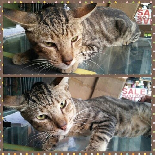 This fella caught my fancy. His name is Zebra and he is just fine. Catstagram Cats Kitty Meow kitteh catsofinstagram animals pets furryfriends instasize photogrid feline felids grumpyface catsofmanila catsph manila