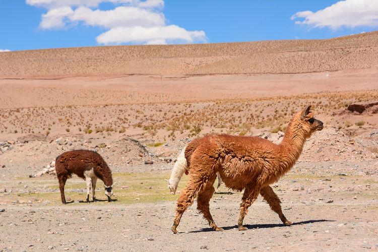 Lama in the desert of Jujuy province (Argentina) Alpaca Andes Animal Lama Llama Nature Patagonia Puna San Antonio De Los Cobres Wool