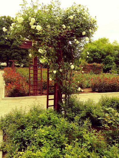 Walking Around Relaxing Taking Photos Beautiful Rose Garden City Park Nature