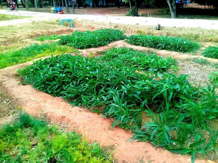 ผักบุ้ง สีเขียว