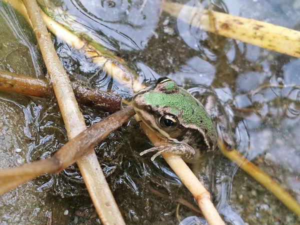 Pelophylax sp. - Serchio River Amphibia Animal Wildlife Animalia Anura Close-up Frog Nature Outdoors Pelophylax Pet Portraits
