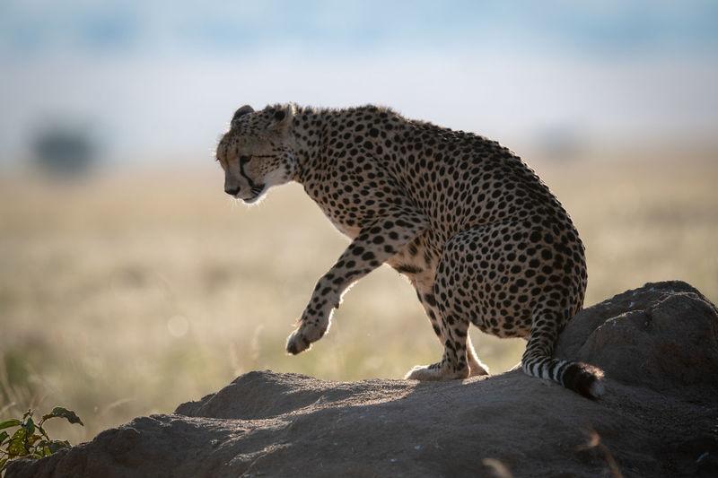 Cheetah sitting on rock