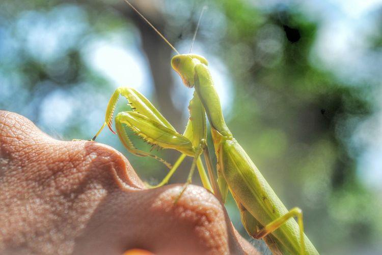 Cropped image of hand with praying mantis