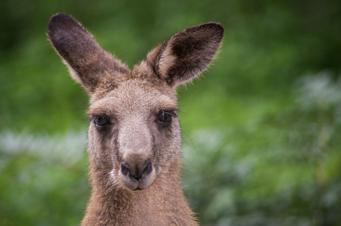 The Portraitist - 2015 EyeEm Awards Sydney Australia Hello World That's Me Animals Kangaroo
