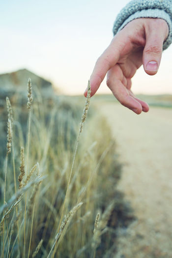 Close-up of hand holding wheat at field
