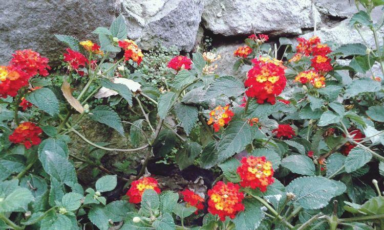 Flowers de nuevo jege