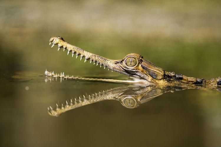 Close-up of crocodile sinyulong
