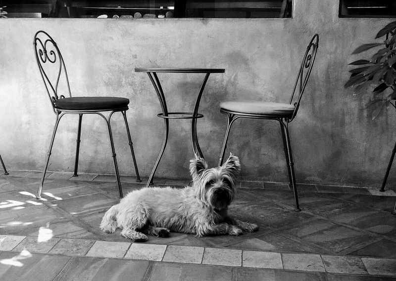 One Animal Animal Themes Domestic Animals Pets No People Mammal Dog Relaxation Chair Portrait Day Outdoors Cairn Terriers Hamish Scottish Black And White Photography