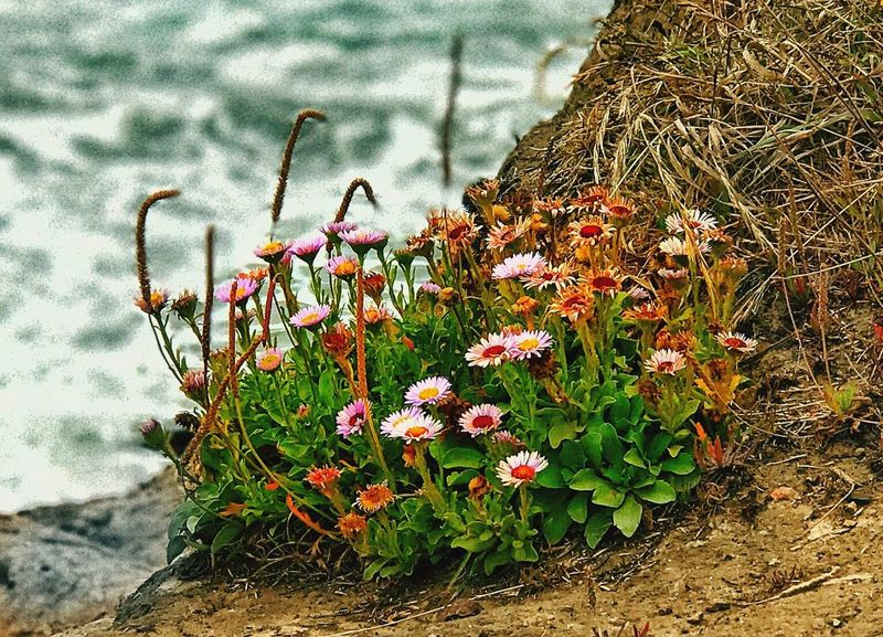 Flower Nature Plant Growth Fragility Beauty In Nature Petal Outdoors Day No People Freshness Flower Head Blooming Close-up Animal Themes Daisies On A Cliff Pacific Ocean Ft. Cronkite Beach Surfing Life Marin County CA