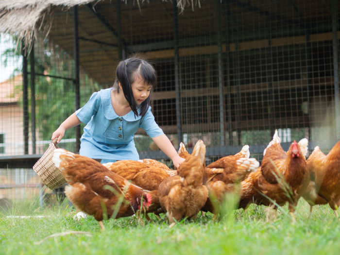 Happy little girl feeding chickens in the farm. Farming, Pet, Happy Kid Concept. Childhood Offspring Child Mammal Domestic Animals One Person Farm Rural Scene Group Of Animals Front View Girls Livestock Looking Day Agriculture Females Women Hairstyle Care Innocence