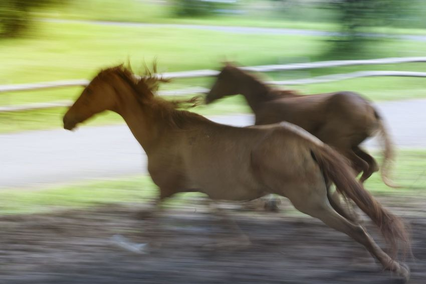Horses exercise every day in a field. Exercise Farm Field Animal Themes Blurred Motion Celerity Day Domestic Animals Double Field Grass Horse Mammal Motion Nature No People Outdoors Quickness Rapidity Running Side View Speed Speediness Speedometer Velocity