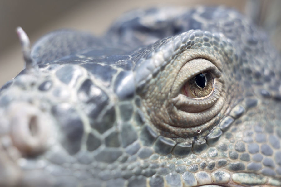 Animal Themes Animals In The Wild Close-up Eye One Animal Reptile Scute Wildlife Macro Beauty