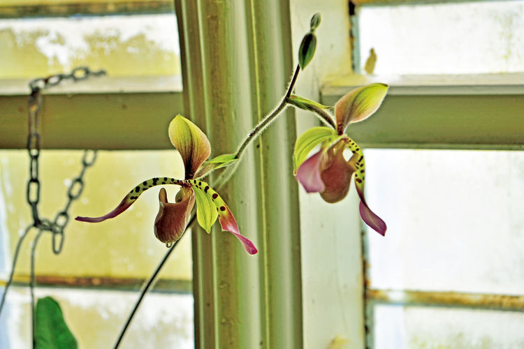 What's Blooming At The Conservatory 3 San Francisco CA🇺🇸 Conservatory Of Flowers Built In 1897 Golden Gate Park Architecture Victorian Style : Italinate Gothic Greenhouse Architectural Detail Glass & Wood Flowers Flower_Collection Slipper Flower Plants Orchids Garden _collection Garden_lovers Blooms Nature Beauty In Nature Nature_collection Tropics Sub-Tropics Botany Flower Photography Horticulture
