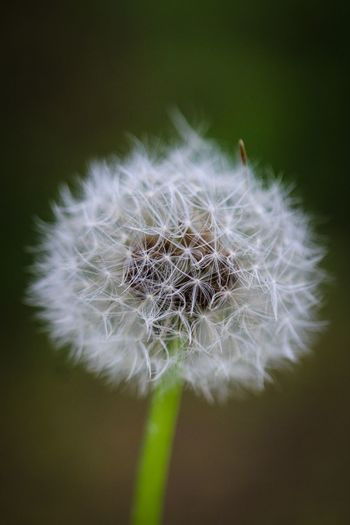 Beauty in Nature Fragility Vulnerability  Close-up Dandelion Flowering Plant Flower Plant Softness No People Beauty In Nature Inflorescence Freshness Dandelion Seed Flower Head Nature Focus On Foreground White Color Growth Selective Focus Outdoors