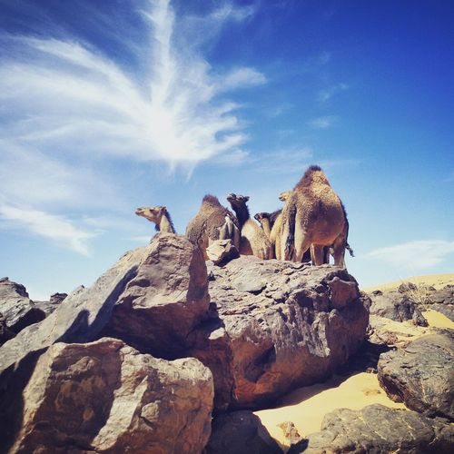 Low angle view of camels on rock against sky