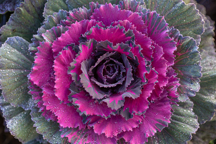 Flower Flowering Plant Freshness Plant Close-up Beauty In Nature Petal Flower Head Inflorescence Vulnerability  Fragility Growth Nature Purple No People Day Pink Color Cabbage Full Frame Springtime