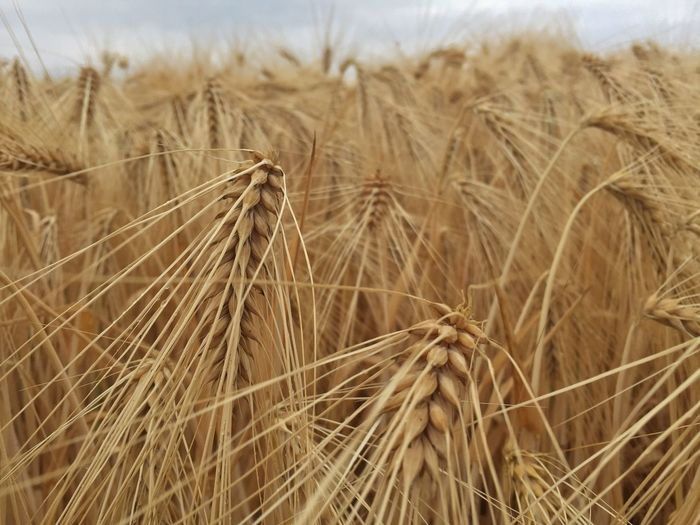 Close-Up Of Wheat Field