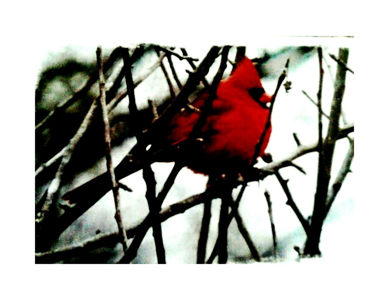 animals in the wild, animal themes, perching, red, no people, one animal, close-up, bird, animal wildlife, nature, outdoors, beauty in nature, day