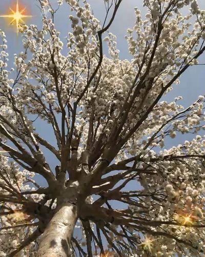 الحين خلص الشتاء خلاص ،صكتنا ال🌞 صوره تصويري  شجره لقطه صوره تصويري  Picture Photo Flower Low Angle View Blossom Outdoors Beauty In Nature