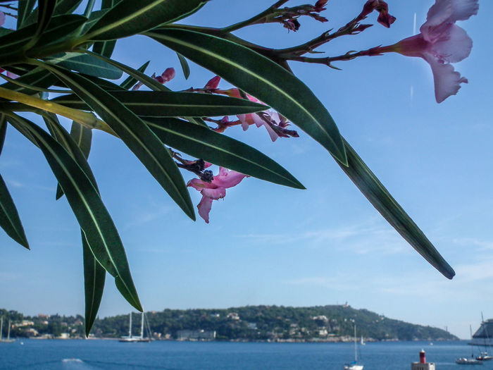 Beauty In Nature Costa Azzurra Côte D'Azur Day Estate France Francia Frankreich Frankreich ♥ Growth Nature No People Oleander Oleandro Outdoors Riviera Scenics Sea Sky Sommer Summer Tree Villefranche-sur-mer Water