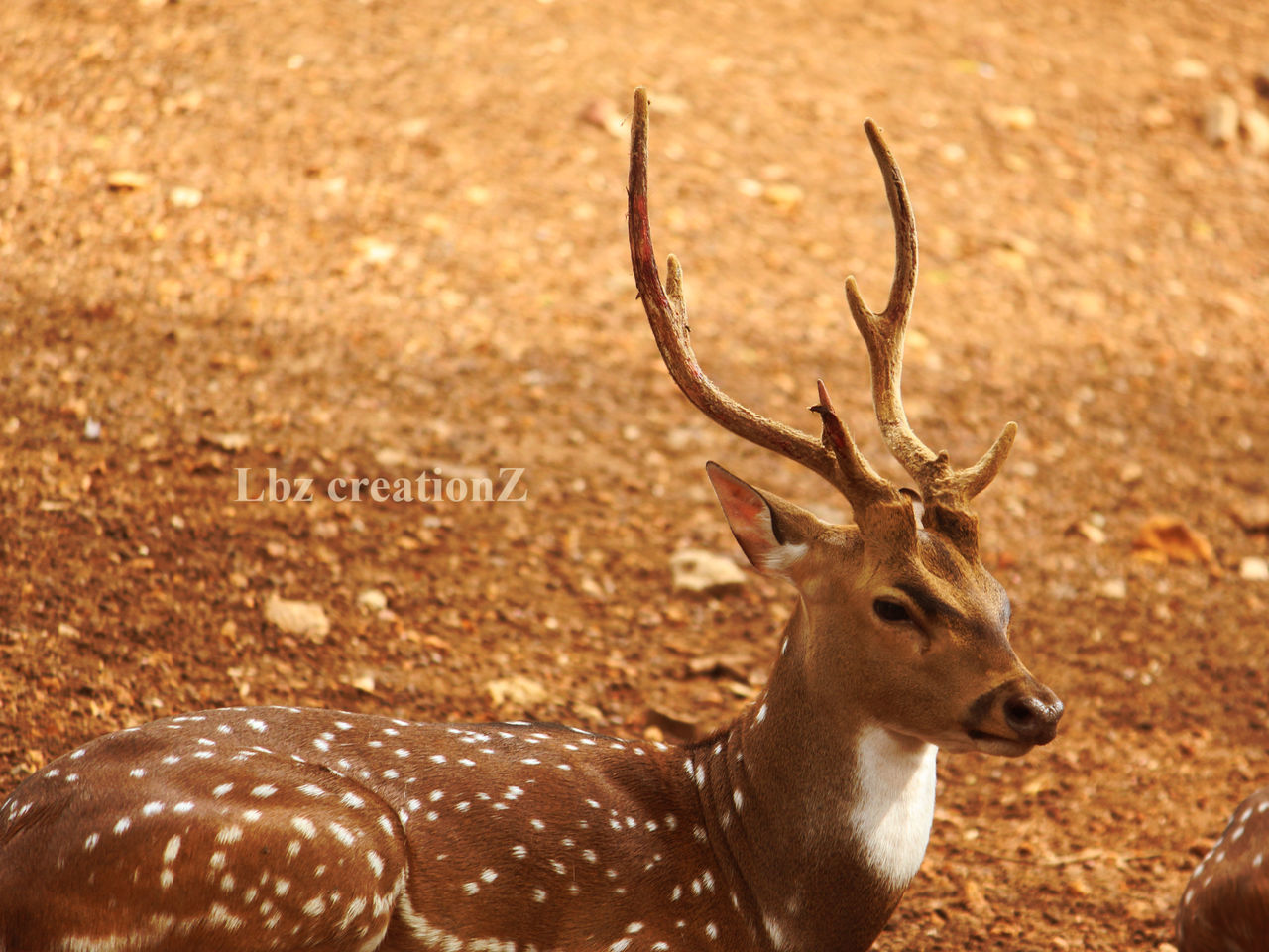 animals in the wild, deer, animal wildlife, animal themes, one animal, antler, stag, mammal, no people, nature, outdoors, day