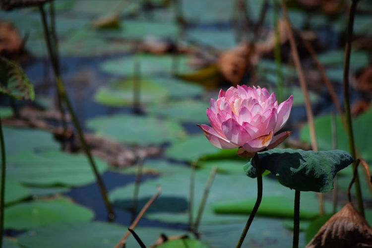 My Click Nikon D3300 Flower Beauty In Nature Nature Leaf Freshness Focus On Foreground Lake Petal Flower Head Pink Color Water Lotus Flower Water