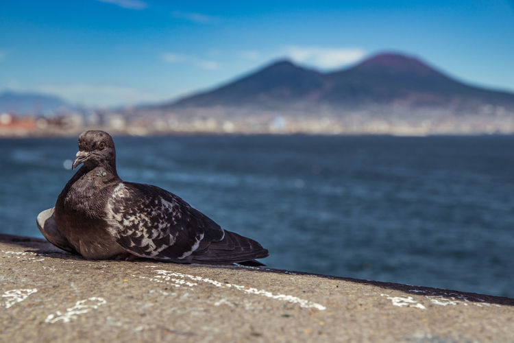 2016_08_Italy A99 Animal Themes Italia Italy Landscape Mediterranean  Mediterranean Sea Napoli Neapel Neaples No People Outdoors Pidgeon  Pidgeons Sea Vesuv Vesuvio Vesuviocoast