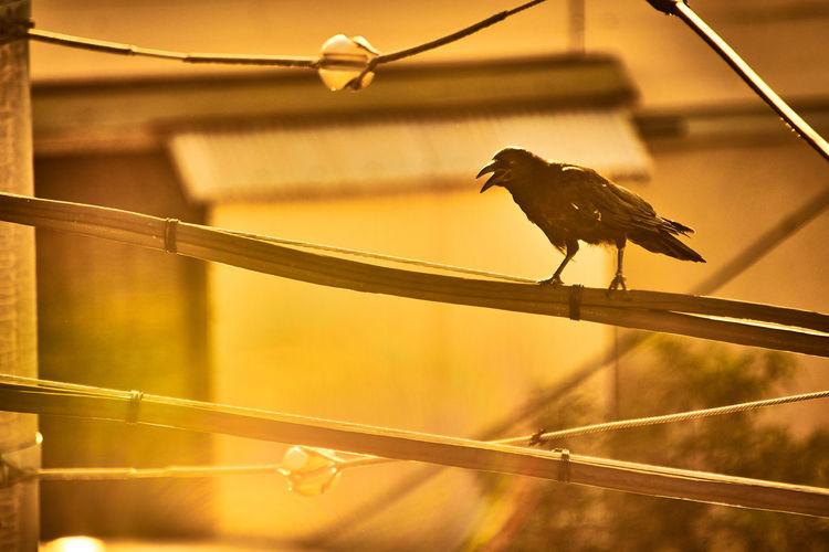 Caw Croak Crow Krah Krah