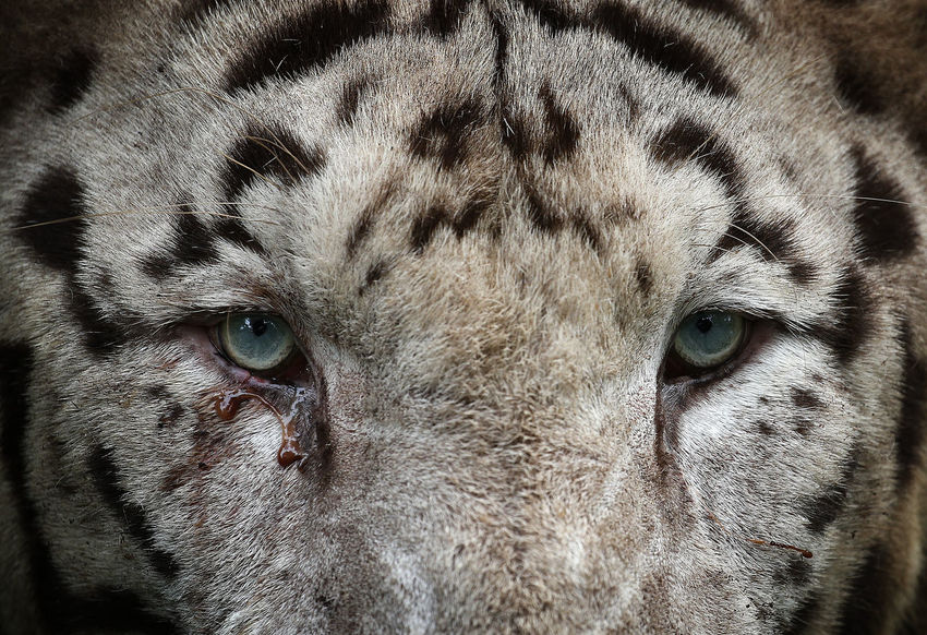Aggression  Animal Animal Body Part Animal Eye Animal Head  Animal Markings Animal Themes Animal Wildlife Animals In The Wild Big Cat Cat Close-up Domestic Animals Feline Full Frame Looking At Camera Mammal No People One Animal Pets Portrait Vertebrate Whisker White Tiger