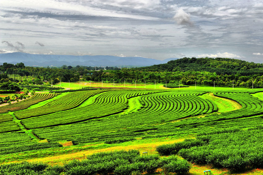 #Chiang Rai #ppksry #Singha Park #Thailand Beauty In Nature Green Color Nature Outdoors