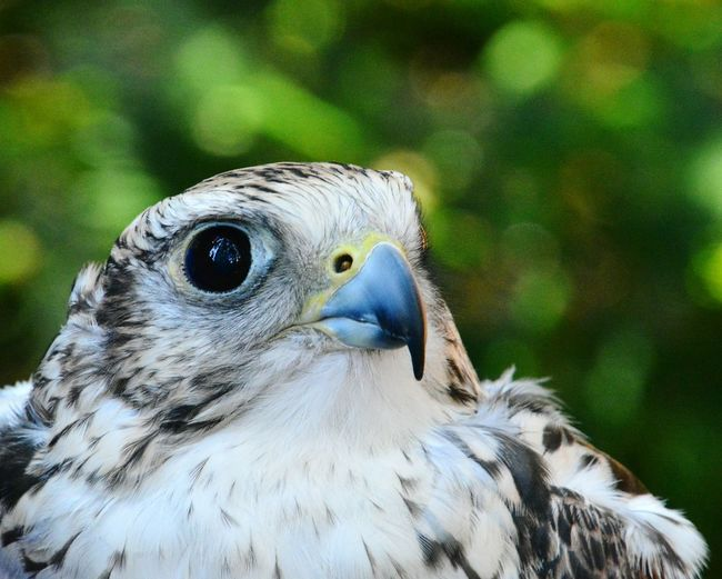 The sharpness of a wild Falcon, epic. Bird Animals In The Wild Animal Wildlife Bird Of Prey Falcon Falcons Nature Outdoors Close-up Eyes Are Soul Reflection Eyes Wide Open Wildlife & Nature Wildlife Photography First Eyeem Photo EyeEmNewHere