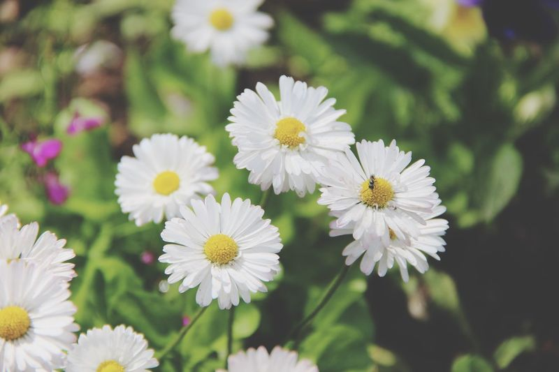 Flower Collection Flower Flowers Nature_collection Nature Russia Ryazan Daisy Marguerite