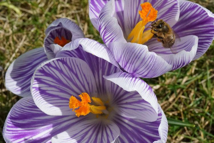 Close-up of bumblebee on purple crocus