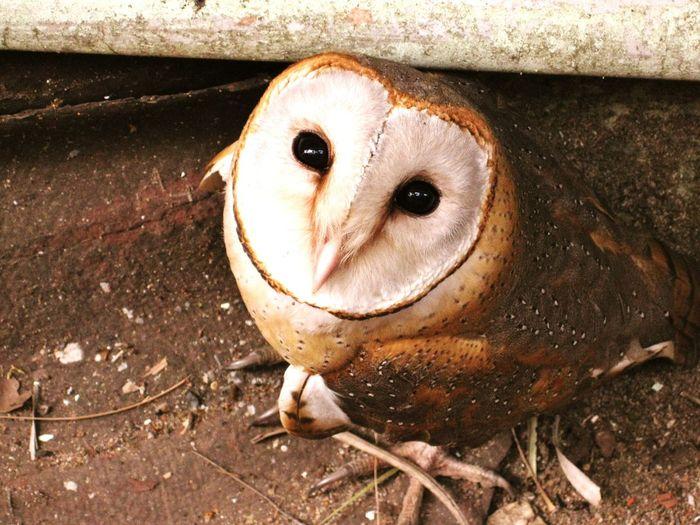 Portrait of barn owl under pipe