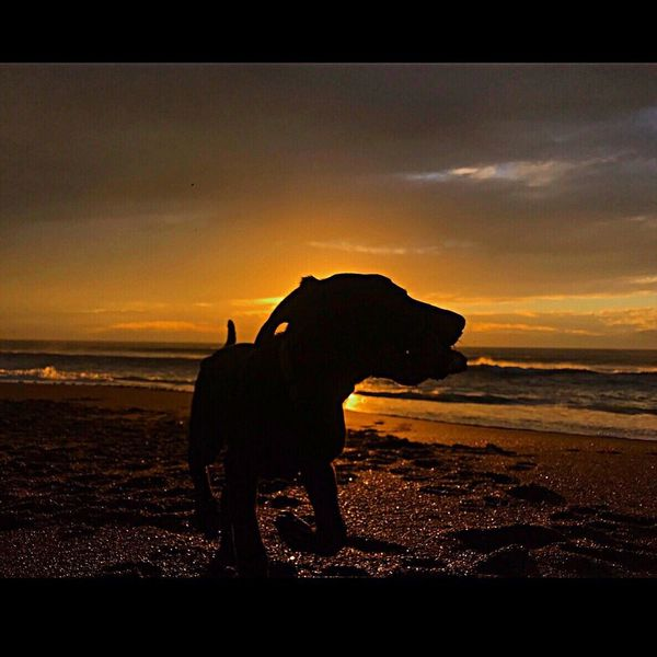 Who Rescued Who? 🐾✨ Gold Coast Exposures California Coast Calisunshine PureJoy Wild And Free Silhouette Sunset Beach Animal Themes Sea Bayareaphotography Shore Sand Oceanvibes AdoptDontShop Savealife Dogs Of EyeEm Girlsbestfriend LabradorRetriever Bentleyboy <3 Four Legs And A Tail Happyasaclam Ilovemydog