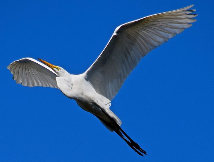Low angle view of great egret flying against clear sky