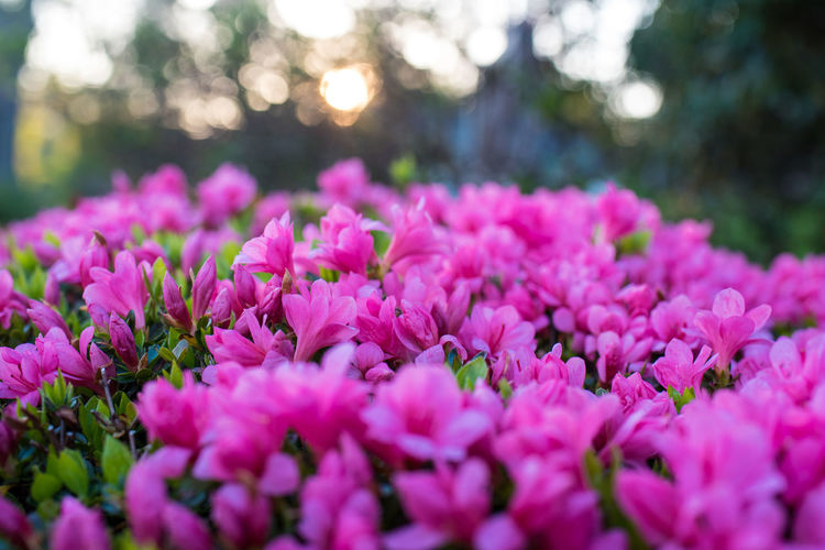 Abundance Beauty In Nature Botany Bunch Of Flowers Close-up Flower Flower Head Flowerbed Flowering Plant Fragility Freshness Growth Inflorescence Nature No People Outdoors Petal Pink Color Plant Purple Selective Focus Softness Spring Springtime Vulnerability
