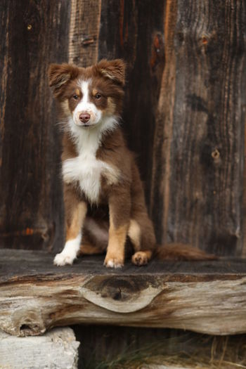One Animal Animal Domestic Animal Themes Canine Pets Mammal Dog Domestic Animals Wood - Material Vertebrate Portrait Looking At Camera Sitting Day No People Log Wood Young Animal Timber Puppy Australian Shepherd