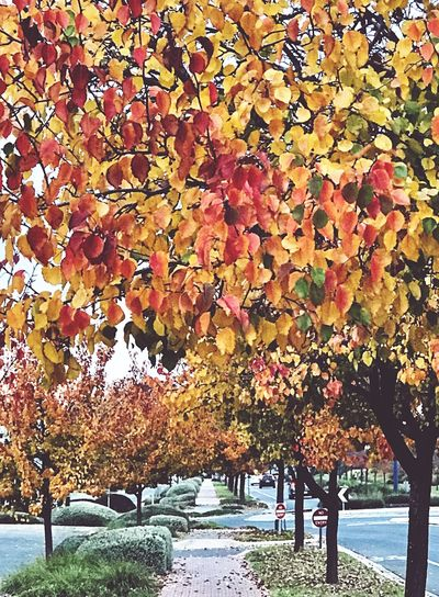 Autumn Leaf Change Nature Tree Beauty In Nature Orange Color Outdoors Multi Colored Scenics Autumn Colors Autumn Leaves Streetphotography EyeEm Nature Lover
